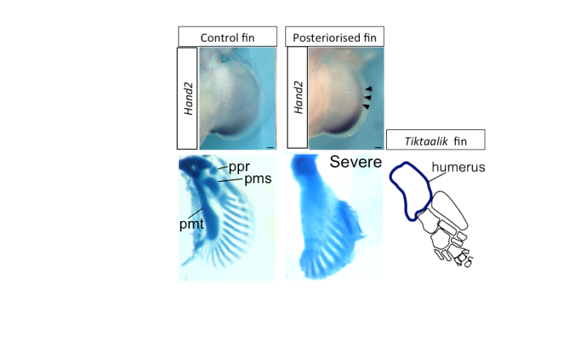 Key genetic event underlying fin-to-limb evolution