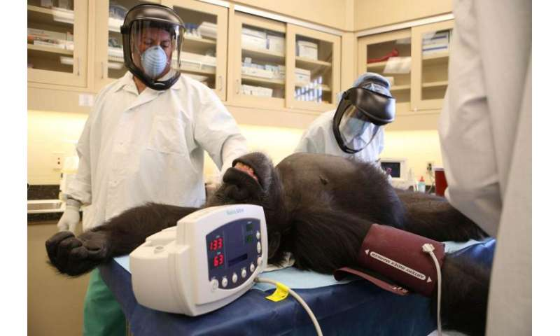 Researchers test Ebola vaccine for wild apes