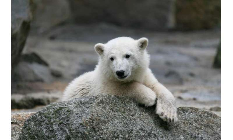 What killed Knut the polar bear? Study offers 'closure'