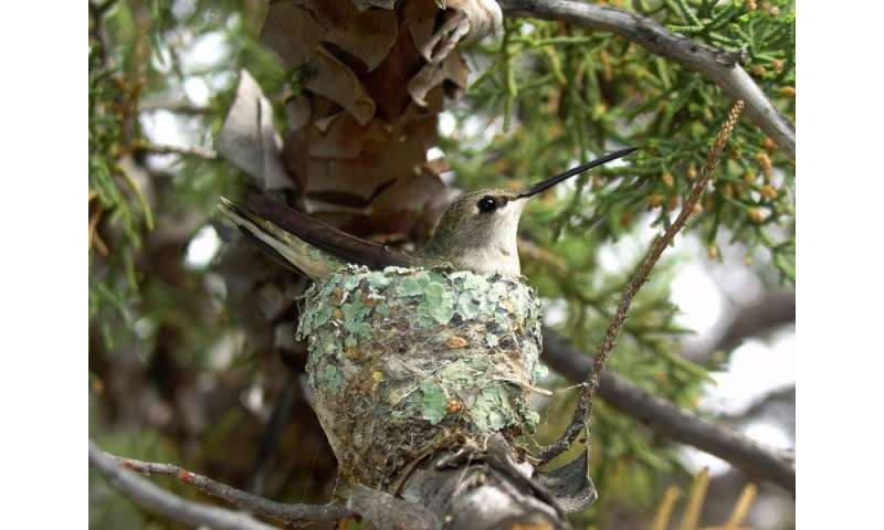 Hummingbirds find protection building nests under hawks