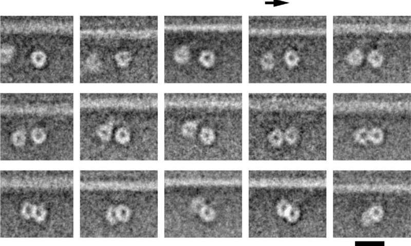 Swinging on 'monkey bars': Motor proteins caught in the act