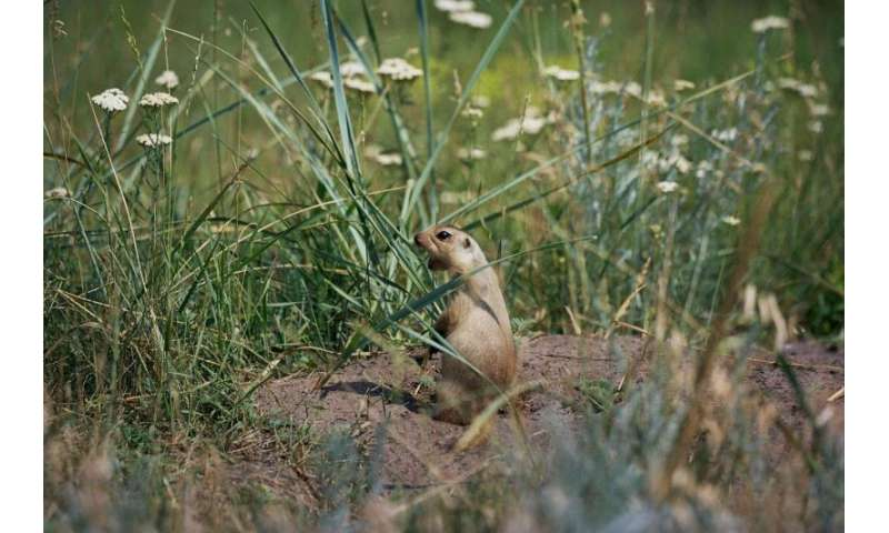 Instance of female reproductive failure due to shortage of males found in squirrels