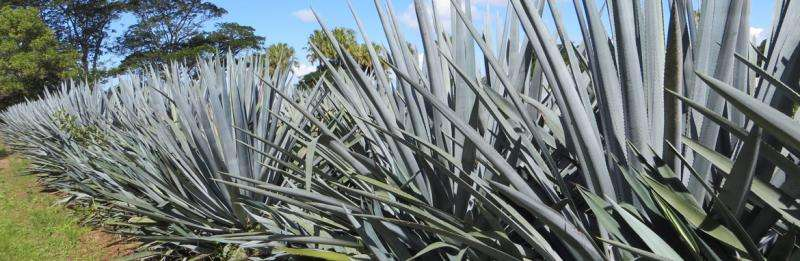 Tequila plant shows promise for biofuel