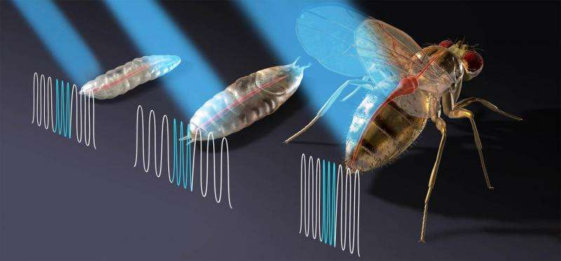 Optogenetic pacing possible alternative to electrical pacemakers