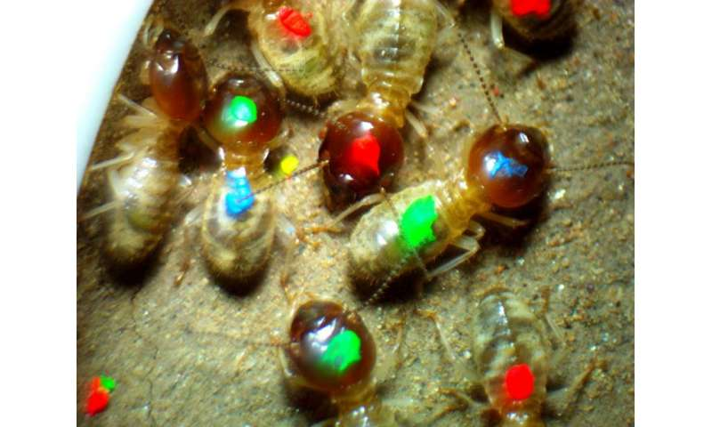 Scientist at work—observing termite behaviors, personalities – and souls?
