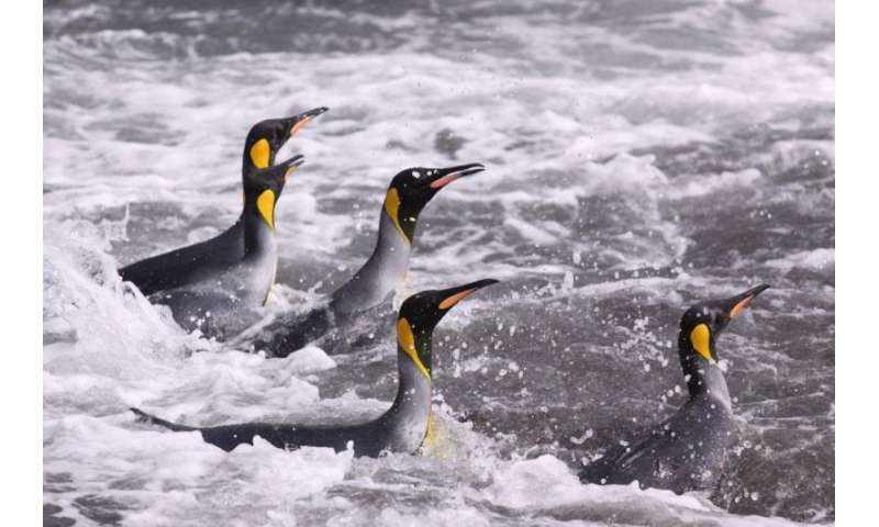 Study highlights climate threat to king penguins