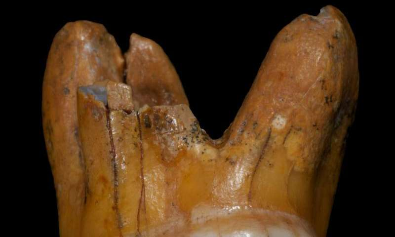 DNA analysis of Denisovan molars offers more clues about ancient human relative