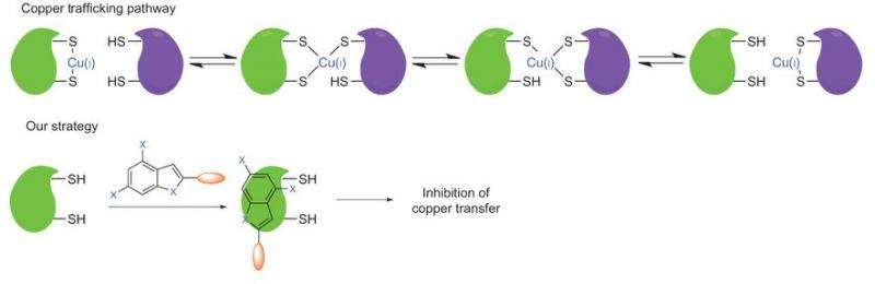 New study shows inhibiting copper chaperones reduces tumor cell proliferation
