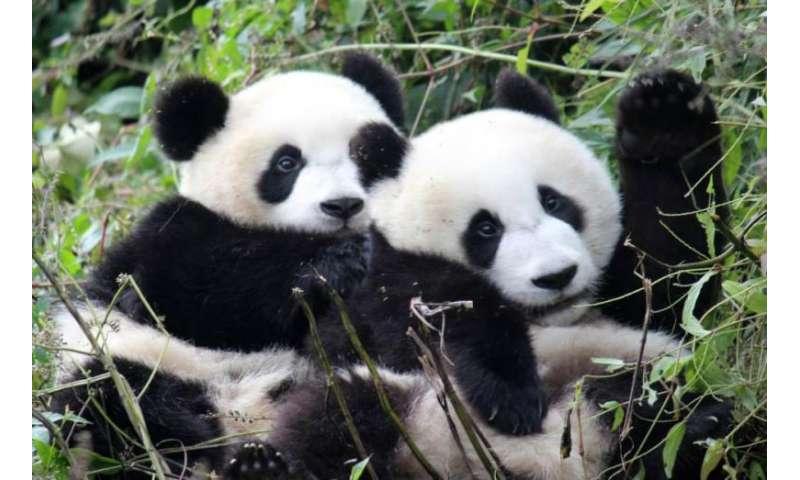 Free choice of mate may boost pandas' sex drive, study says