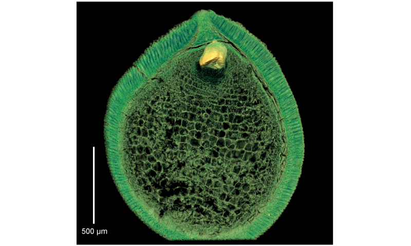 Preserved embryos illustrate seed dormancy in early angiosperms