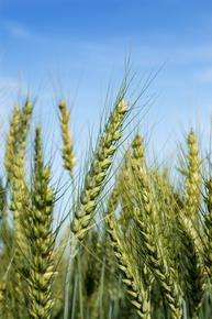 Researchers to sequence two wheat chromosomes