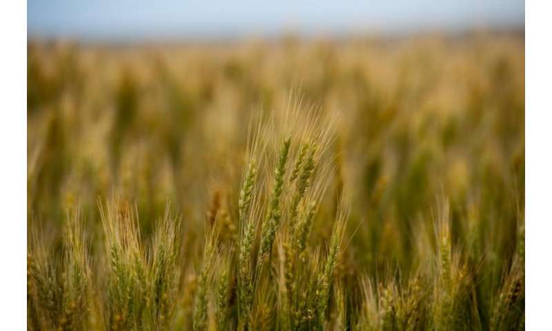 Study provides insights into the mechanisms of fine-tuning of wheat to diverse environments
