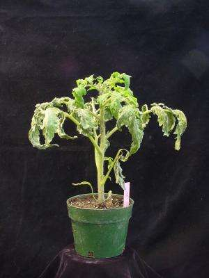 Understanding plants' immune systems could lead to better tomatoes, roses, rice