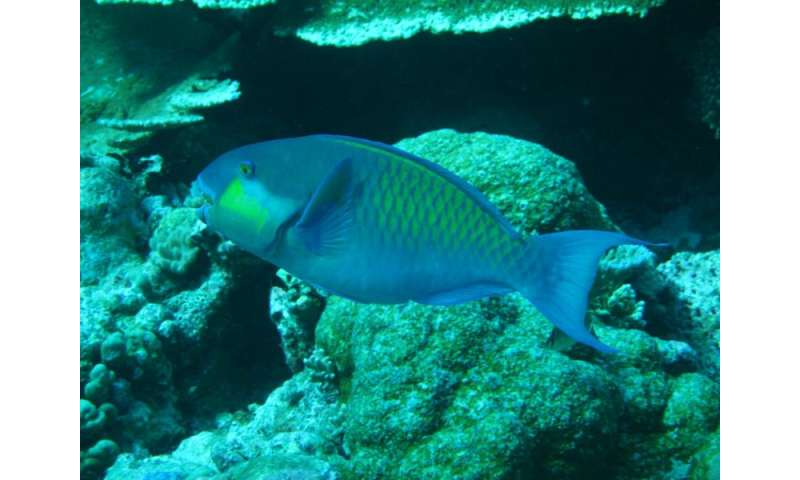 New study shows parrotfish are critical to coral reef island building