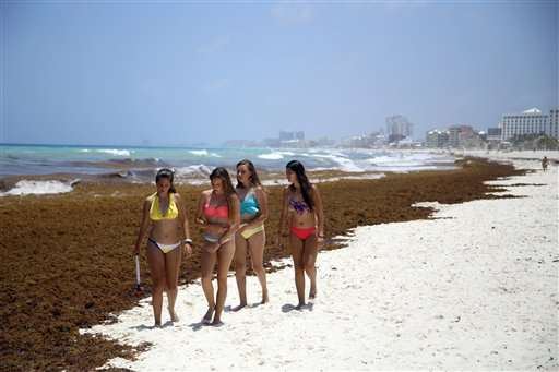 Stinking mats of seaweed piling up on Caribbean beaches