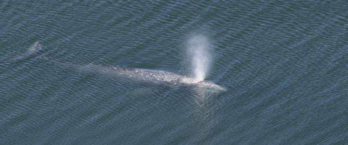 """Researchers studying Oregon's """"resident population"""" of gray whales"""