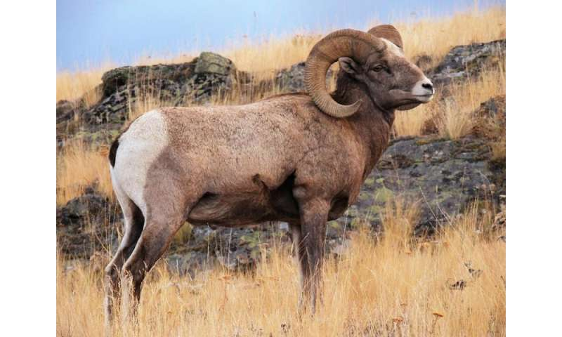 Scientists construct first whole genome sequence of bighorn sheep