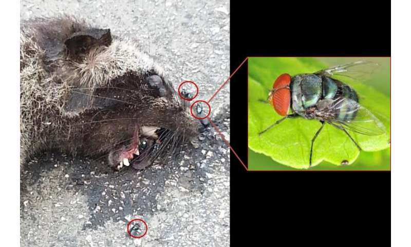 Researchers using blowflies to sample mammal DNA and develop a mammal monitoring tool