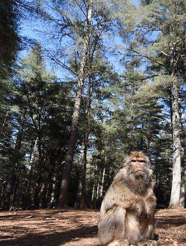 A Barbary macaques in the Cedrus Atlantica forest, near the central town of Azrou