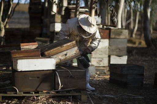 A beekeeper blows smoke into a bee hive to calm the bees as he inspects the hive for the foulbrood bacterial disease on a farm n