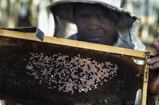 A beekeeper holds a brood frame with a nest that has been infected with the foulbrood bacterial disease on a farm near Durbanvil