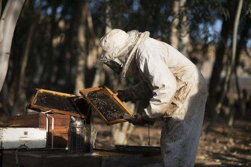 A beekeeper inspects a brood frame inside a bee hive suspected of having been infected with the foulbrood bacterial disease on a