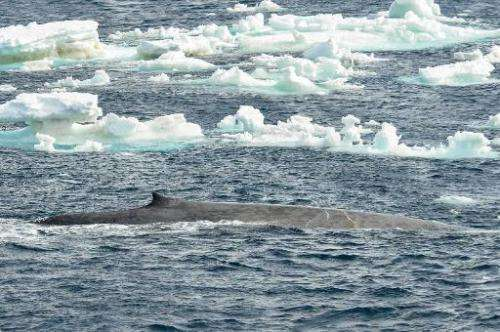 A blue whale in Southern Ocean is spotted by a team of Australian and New Zealand scientists tracking scores of blue whales off