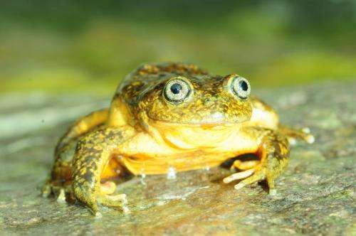A bright-yellow new species of water frog from the Peruvian Andes