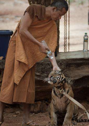 A Buddhist monk sprays water onto a baby tiger at The Tiger Temple in Kanchanaburi province, western Thailand, on April 24, 2015