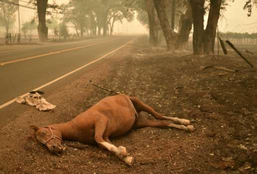 A dead horse lies on the side of a road while firefighters continue to battle the Valley fire in Middletown, California on Septe