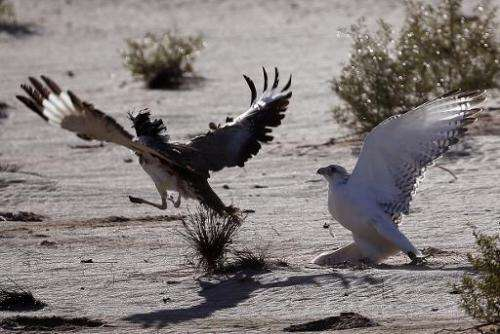 A falcon (R) tries to catch a Houbara bustard during a falconry competition, part of the 2014 International Festival of Falconry