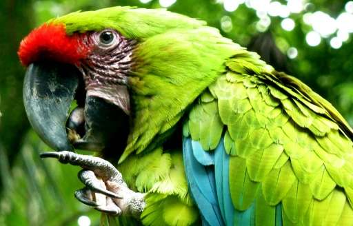 A great green macaw (Ara Ambigua) perches on a branch on June 3, 2010 at Zoo Ave, in Costa Rica