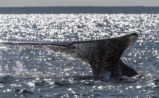 A grey whale dives into the Ojo de Liebre Lagoon, Baja California Sur state, Mexico on March 3, 2015