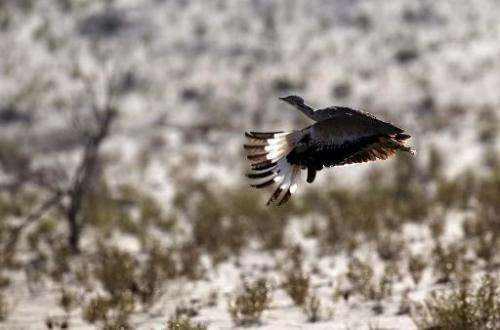 A Houbara bustard flies during a falconry competition—part of the 2014 International Festival of Falconry—in Hameem, 150km west