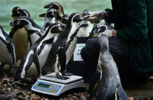 A humboldt penguin is weighed at London Zoo on August 26, 2015 during the zoo's annual weigh-in