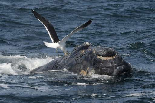 A kelp gull is seen on the back of a Franca Austral whale calf (Southern Right Whale) in the New Golf near Puerto Piramides, Pat