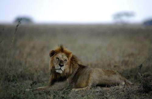 A lion lays in the Serengeti national reserve in Tanzania on October 25, 2010