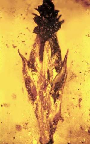 Amber fossil links earliest grasses, dinosaurs and fungus used to produce LSD