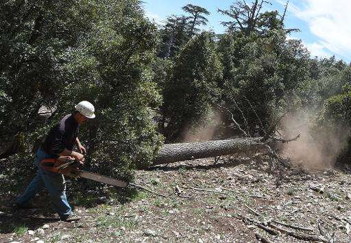 A Moroccan worker cuts down a cedar tree in the Cedrus Atlantica forest, near the central town of Azrou