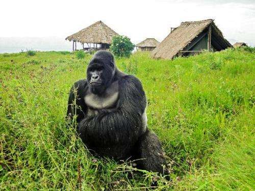 A mountain gorilla from the Kabirizi family in Virunga National Park, eastern Democratic of Congo, pictured on April 7, 2011