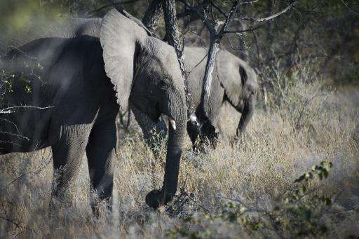A Mozambique government-backed survey showed a dramatic 48 percent decline in elephant numbers from just over 20,000 to an estim