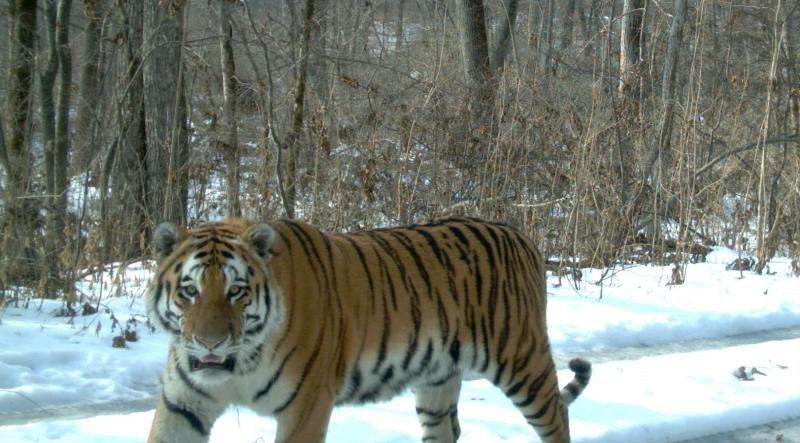 Amur tiger numbers on the rise, say latest figures