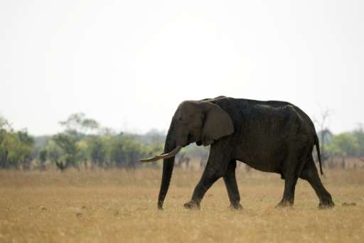 An African elephant is pictured on November 17, 2012 at Hwange National Park in Zimbabwe
