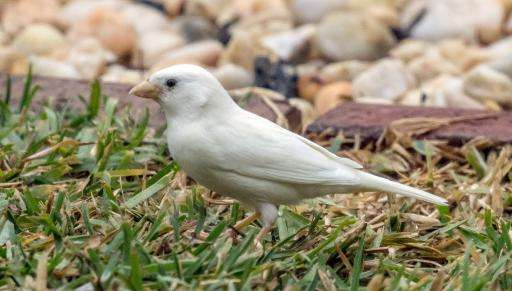 An albino sparrow, one of the rarest birds in the world, seen in the outer Melbourne suburb of Point Cook
