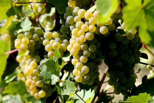 An ancient variety of grape named Arbane, pictured at Michel Drappier's vineyard in Urville, eastern France