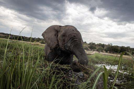 An elephant in the waters of the Chobe river in Botswana Chobe National Park, in the northeast of the country