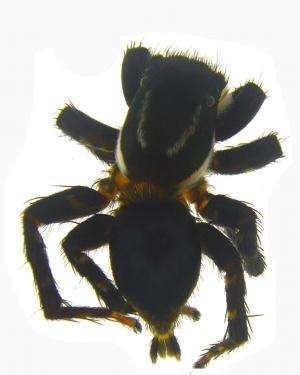 A new jumping spider with mating plug discovered from the 'Western Ghats'