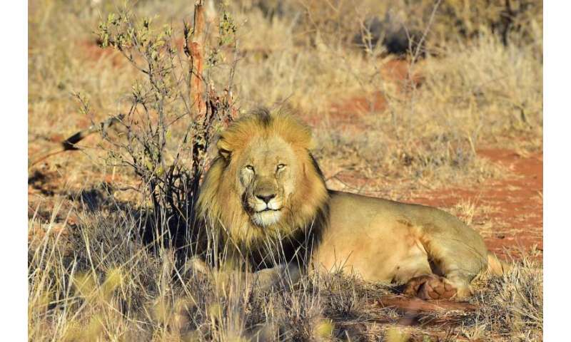 A new study involving Oxford scientists shows that lion populations in much of Africa are in rapid decline.