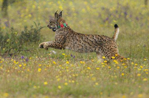 An Iberian lynx Lila takes its first steps after being released on a farm near the village of Mazarambros near Toledo as part of