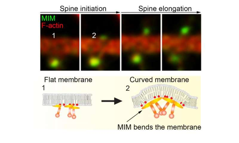An initiation mechanism for dendritic spines discovered